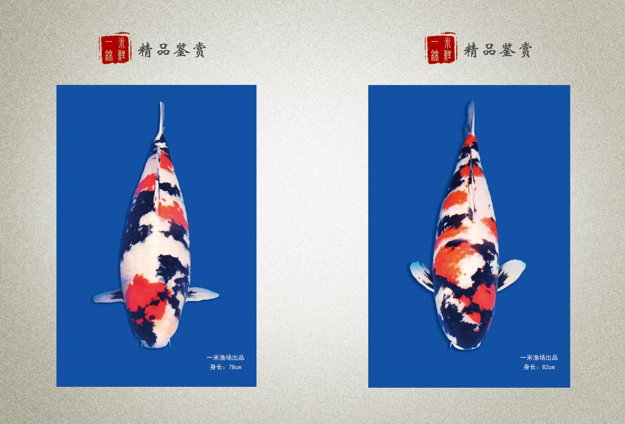 一米锦鲤精品
